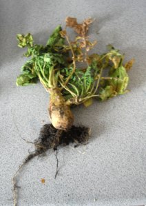 Unknown Alien root vegetable
